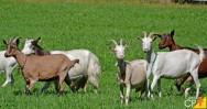 Raças de cabras leiteiras determinam a produtividade
