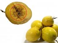 Doenças do maracujá - controle da Fusariose ou Murcha e Podridão-do-Colo