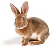 Aprenda Fácil Editora: Principais raças de coelhos