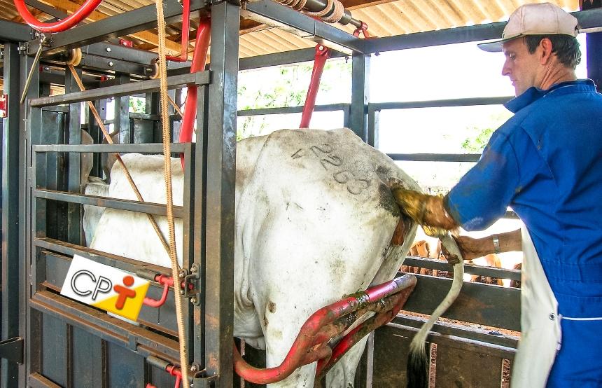 Definição de inseminação artificial em bovinos   Artigos CPT