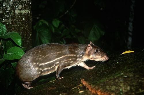 Criação de paca - a  Agouti paca em condições naturais
