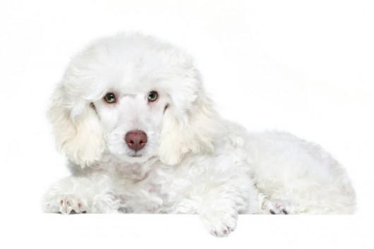 Raças de cachorro - Poodle