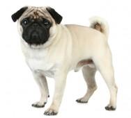 Raças de cachorro - Pug