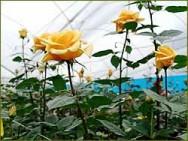 Aprenda Fácil Editora: Produção de rosas
