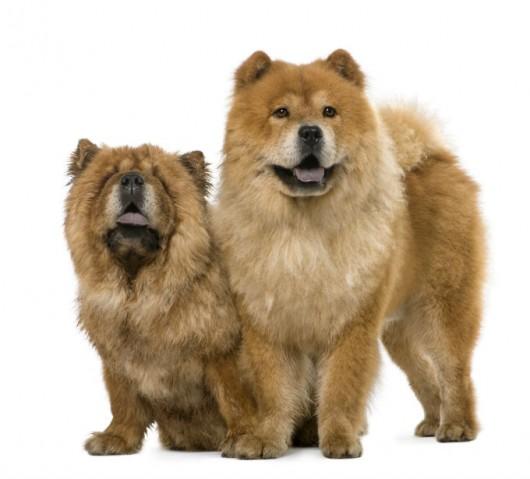 Raças de cachorro - Chow Chow