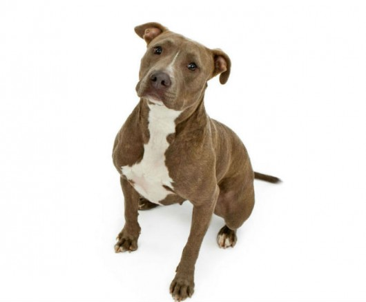 Raças de cachorro - Pit Bull Terrier ou American Pit Bull Terrier