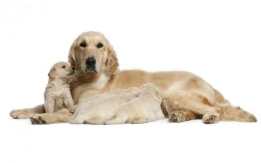 Raças de cachorro - Golden Retriever