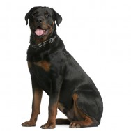 Raças de cachorro - Rottweiler