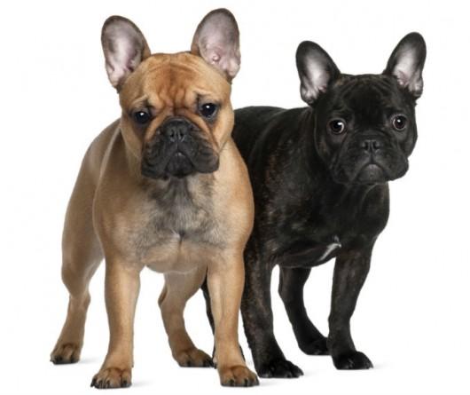 Raças de cachorro - Buldogue Francês