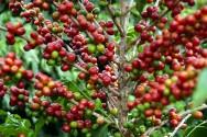 Aprenda Fácil Editora: Saiba quais são as exigências climáticas para a produção de café
