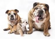 Raças de cachorro - Buldogue Inglês