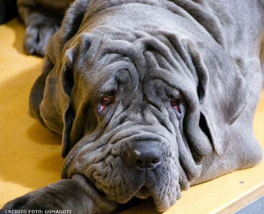 Raças de cachorro - Mastino Napoletano ou Mastim Napolitano