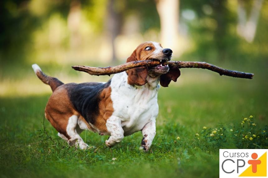 Raças de cachorro:- Basset Hound   Artigos CPT