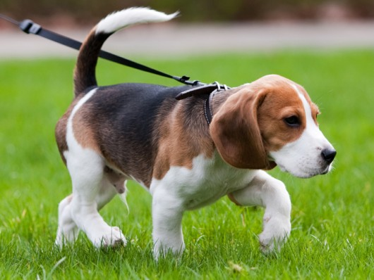 Raças de cachorro - Beagle