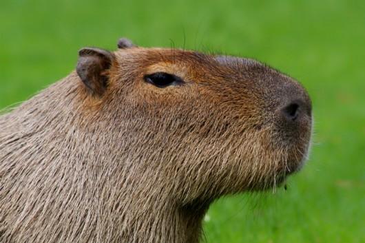 Capivara - sistemas de criação e manejo para a produção de carne