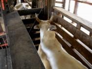 Inseminação artificial em bovinos - manejo, sanidade, nutrição e treinamento do inseminador
