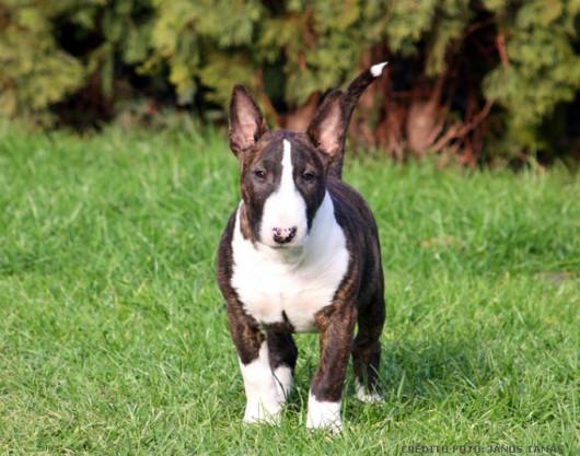 Raças de cachorro - Bull Terrier