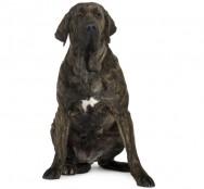 Raças de cachorro - Fila Brasileiro