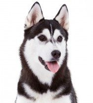 Raças de cachorro: Husky Siberiano
