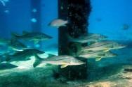 O robalo pode ser uma boa alternativa para quem vive de pescado no Brasil.