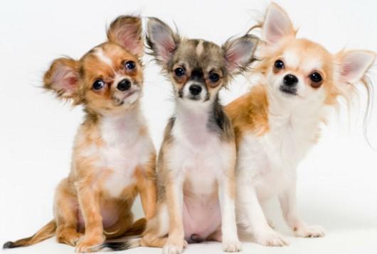 Raças de cachorro - Chihuahua