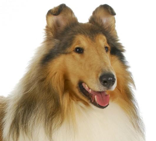 Raças de cachorro - Collie (Rough)