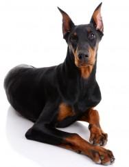 Raças de cachorro - Doberman