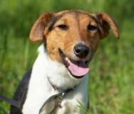 Raças de cachorro - Fox Terrier (Smooth)