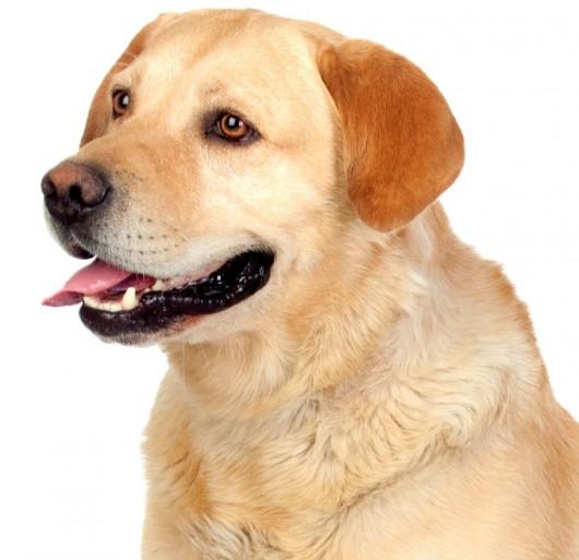 Raças de cachorro - Labrador Retriever | Cursos a ...