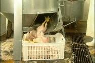 Frango de corte - tratamento de resíduos nos abatedouros