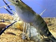 Larvicultura do camarão - como ocorre o acasalamento dos camarões