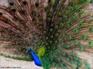 Pavões - dicas de comercialização e técnicas de criação dessas aves exóticas