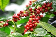 Aprenda Fácil Editora: Cafeicultura: saiba quais devem ser os cuidados na produção das sementes