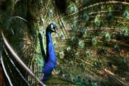 Fases da criação de pavões - cria, recria, crescimento, jovem e adulto