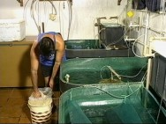 Larvicultura do camarão - como é feito o transporte das larvas