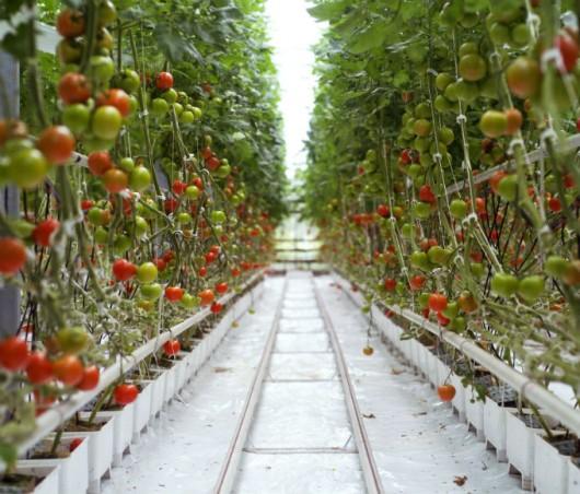 tomate hidropnico sistema aberto fechado e nft