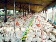 Frango de corte - atordoamento elétrico e por CO2 utilizados no abate