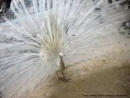 Aves ornamentais - criação de pavões tem menor investimento inicial e maior lucro