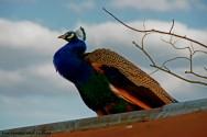 Galinhas, galos, pombos, marrecos e pavões podem ser criados em uma área de seis metros quadrados