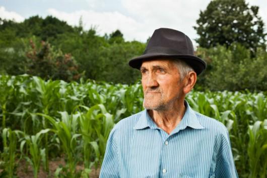 Milhos especiais - escolha da cultivar do milho pipoca