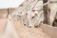 Aprenda Fácil Editora: Como selecionar gado de corte para engorda