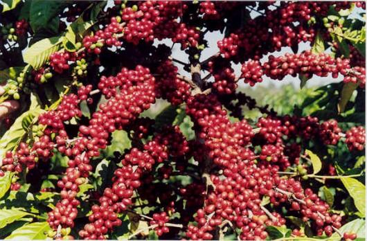 Café Orgânico - agricultura convencional x agricultura orgânica