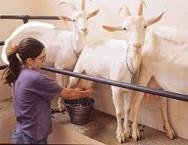 Aprenda Fácil Editora: Leite de cabra: um dos alimentos mais saudáveis para consumo humano