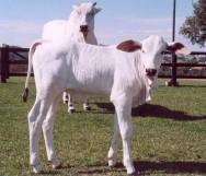 Transferência de embriões em bovinos
