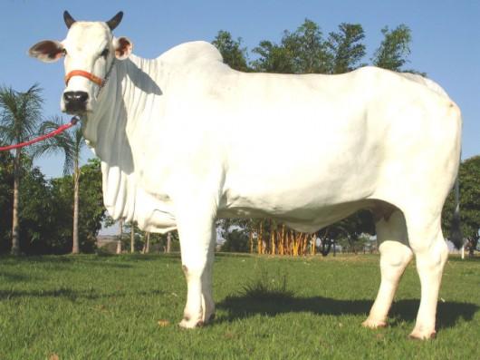 Aplicações da transferência de embriões em bovinos