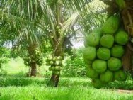 Aprenda Fácil Editora: Coqueiro anão: dicas sobre o cultivo