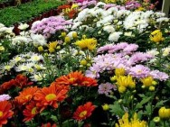 Aprenda Fácil Editora: Dicas sobre o cultivo de crisântemo