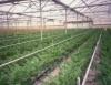 Estufa para cultivo evita problemas causados pelas mudanças climáticas