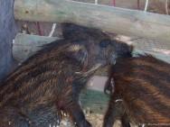 Abatedouro de animais silvestres -  as condições e o estado sanitário dos animais