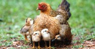 Aprenda Fácil Editora: Conheça o ciclo de reprodução das aves